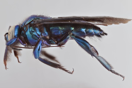 [Aglae caerulea male (lateral/side view) thumbnail]