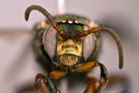 [Aglaomelissa duckei female (anterior/face view) thumbnail]