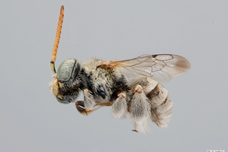 [Anthophorula compactula male (lateral/side view) thumbnail]