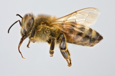 [Apis mellifera female (lateral/side view) thumbnail]