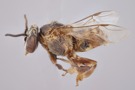 [Axestotrigona erythra male (lateral/side view) thumbnail]