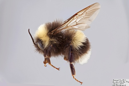 [Bombus lucorum male (lateral/side view) thumbnail]