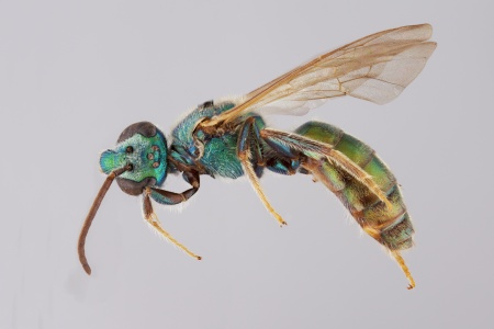 [Caenaugochlora male (lateral/side view) thumbnail]