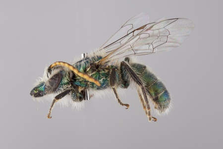 [Caenohalictus male (lateral/side view) thumbnail]