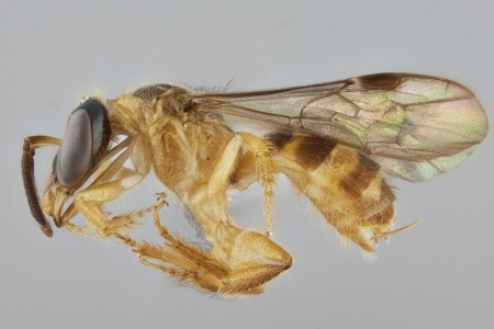 [Chlerogelloides female (lateral/side view) thumbnail]