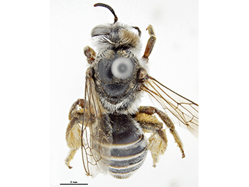 [Chrysocolletes strangomeles female (dorsal/above view) thumbnail]