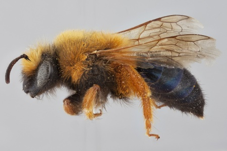 [Colletes fulvipes female (lateral/side view) thumbnail]