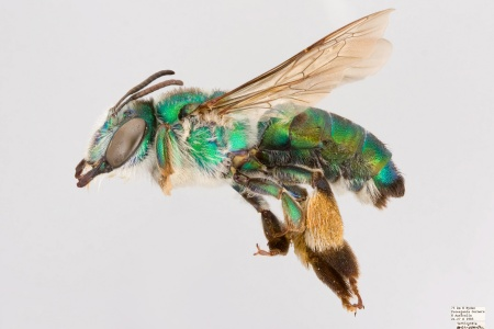 [Ctenocolletes smaragdinus female (lateral/side view) thumbnail]