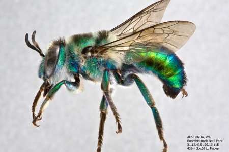 [Ctenocolletes smaragdinus male (lateral/side view) thumbnail]