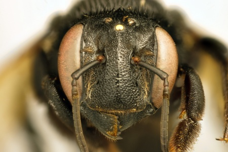 [Duckeanthidium thielei female (anterior/face view) thumbnail]