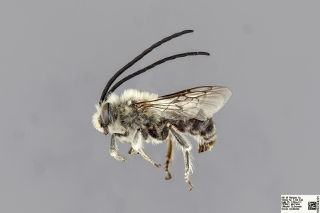 [Eucera cordleyi male (lateral/side view) thumbnail]