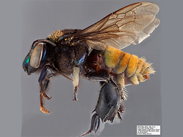[Eufriesea superba male (lateral/side view) thumbnail]