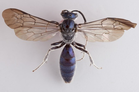 [Eupetersia female (dorsal/above view) thumbnail]
