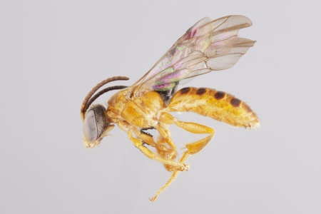 [Halictonomia male (lateral/side view) thumbnail]