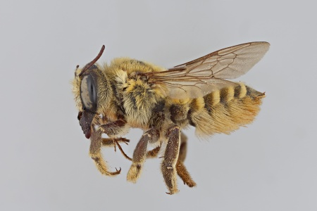 [Megachile fortis female (lateral/side view) thumbnail]