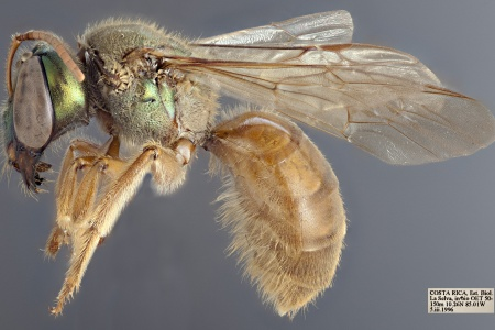 [Megalopta female (lateral/side view) thumbnail]