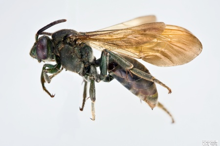 [Melanempis scoliiformis female (lateral/side view) thumbnail]