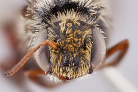 [Melitomella male (anterior/face view) thumbnail]