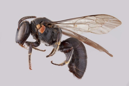 [Meroglossa male (lateral/side view) thumbnail]