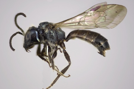 [Mexalictus genalis male (lateral/side view) thumbnail]