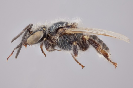 [Mourella caerulea male (lateral/side view) thumbnail]