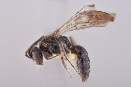 [Nesosphecodes cubicola male (lateral/side view) thumbnail]