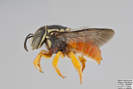 [Pachyanthidium male (lateral/side view) thumbnail]