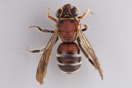 [Parapsaenythia female (dorsal/above view) thumbnail]