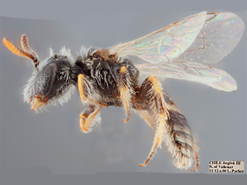 [Parasarus atacamensis male (lateral/side view) thumbnail]