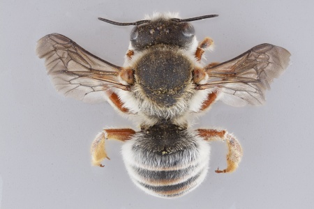 [Plesianthidium female (dorsal/above view) thumbnail]