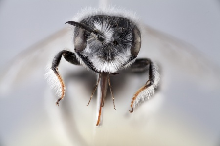 [Plesiopanurgus cinerarius male (anterior/face view) thumbnail]