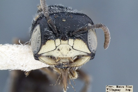 [Psaenythisca punctata male (anterior/face view) thumbnail]