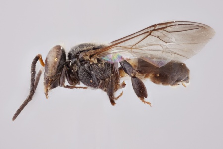 [Scaura longula male (lateral/side view) thumbnail]