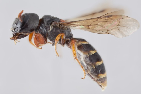 [Sericogaster fasciata female (lateral/side view) thumbnail]