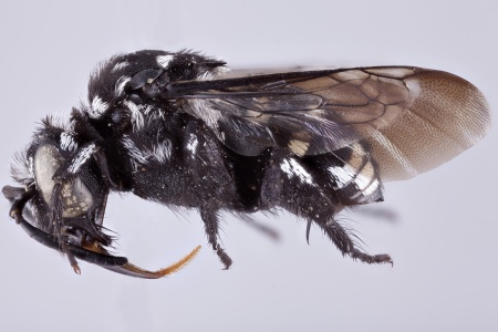 [Thyreomelecta siberica male (lateral/side view) thumbnail]