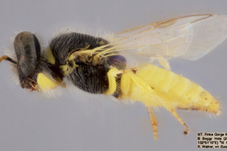 [Xanthesma flavicauda female (lateral/side view) thumbnail]