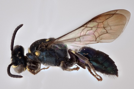 [Xenorhiza carinata male (lateral/side view) thumbnail]