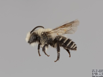 [Colletes consors male thumbnail]