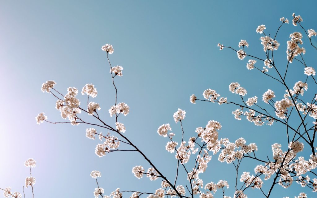 Low angle of cherry blossom tree in bloom against a blue sky