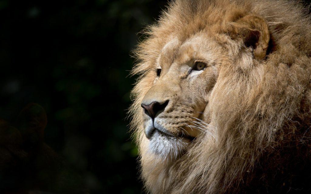 Closeup of adult lion's head against black background