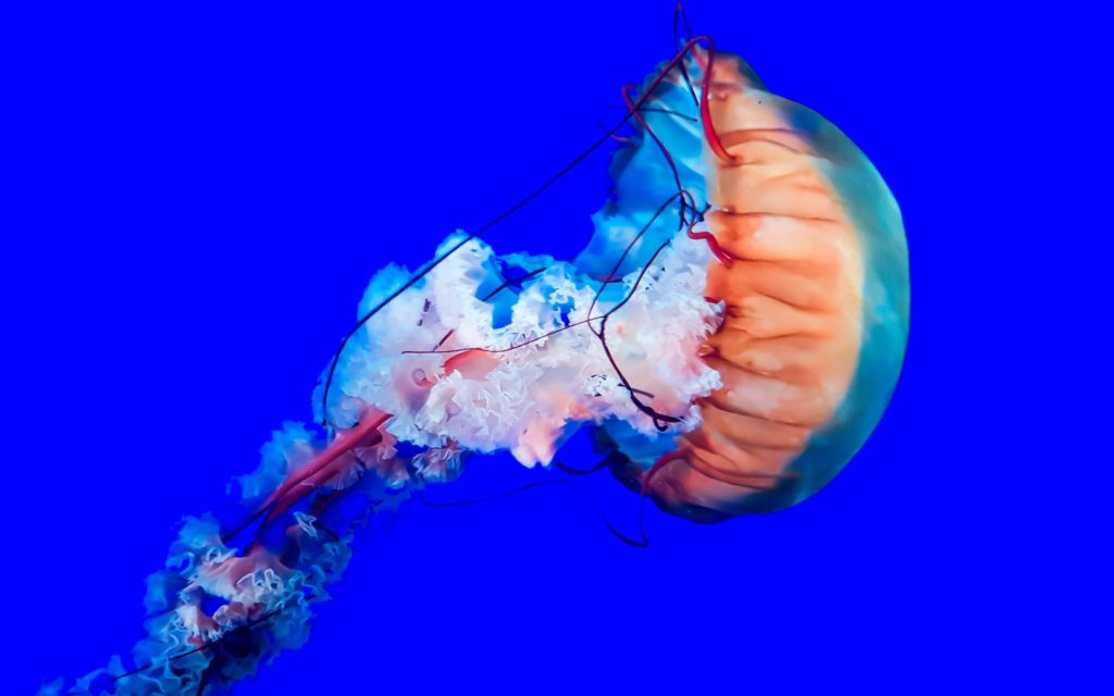 Red and pink jellyfish surrounded by blue water