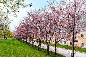 Photo of cherry blossoms on the York campus