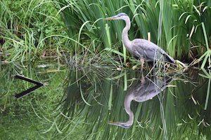 Blue heron bird stands in marsh